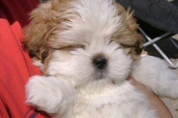 Como o Shih Tzu Gosta de Dormir | 3 Dicas Para Deixá-los Mais Confortáveis